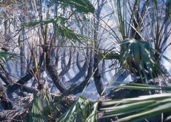 Palmetto Burned